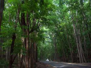 Manmade forest